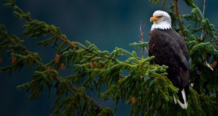 「ハクトウワシ」アメリカ, アラスカ