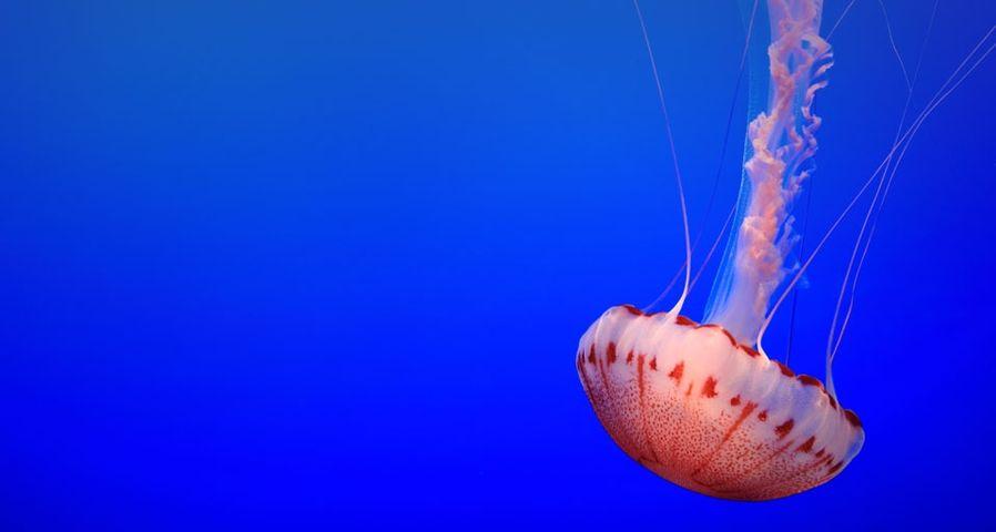「モントレー水族館のクラゲ」アメリカ, カリフォルニア州