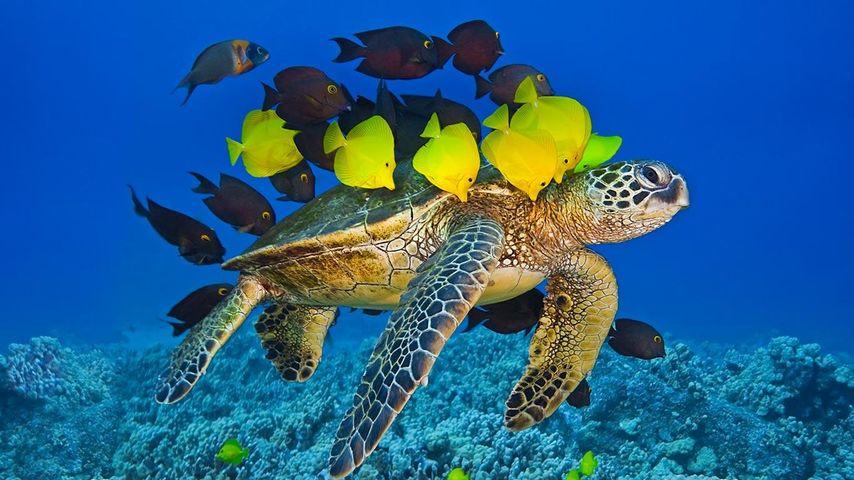 「掃除をされるアオウミガメ」アメリカ, ハワイ, コナコースト