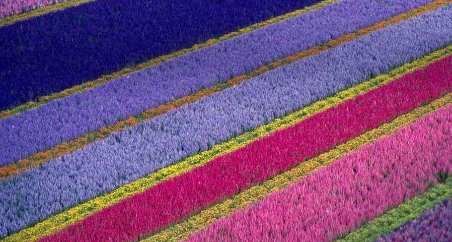 「ロンポックの花畑」アメリカ, カリフォルニア州, サンタバーバラ地方