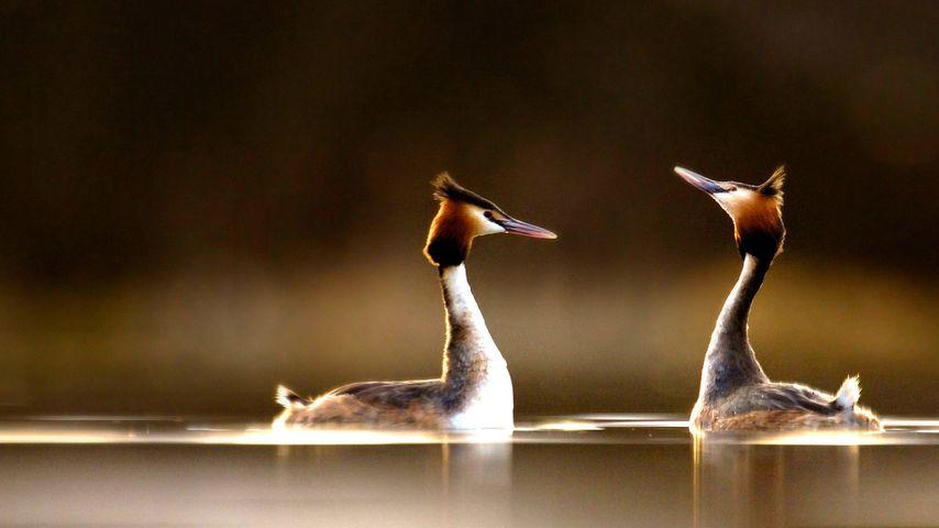 「カンムリカイツブリの求愛」イギリス, ダービーシャー州