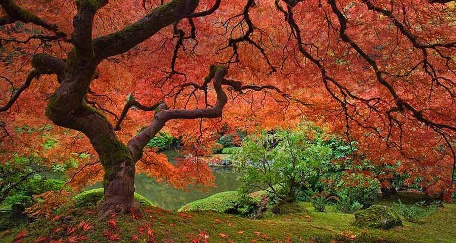 「ポートランド日本庭園のモミジ」アメリカ, オレゴン州