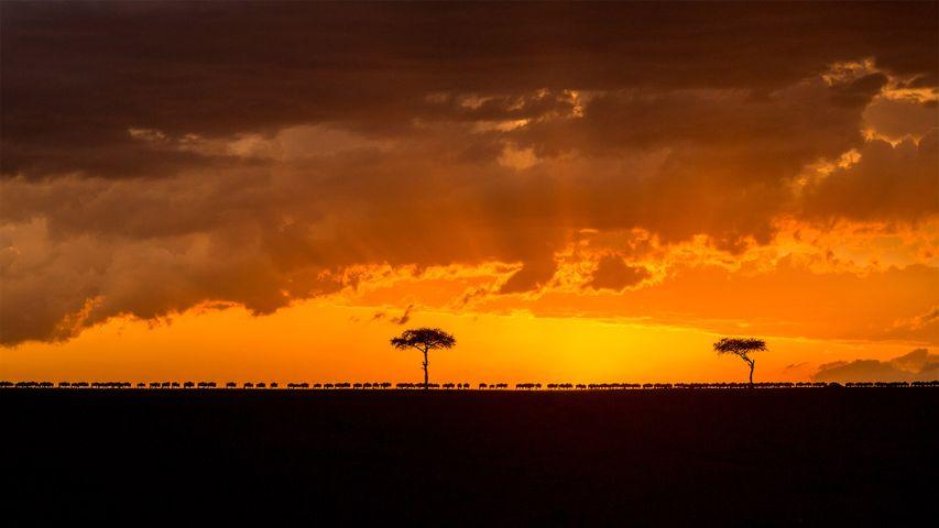 「グレートマイグレーション」ケニア,マサイマラ国立保護区