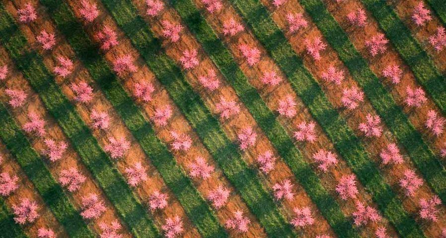 「満開の桃の果樹園」アメリカ, サウスカロライナ州
