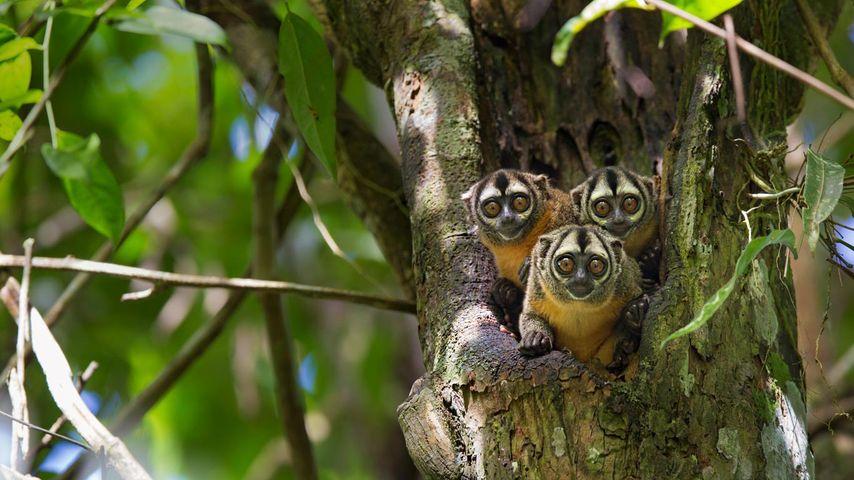 「ヨザル」ペルー, パカヤ・サミリア国立保護区