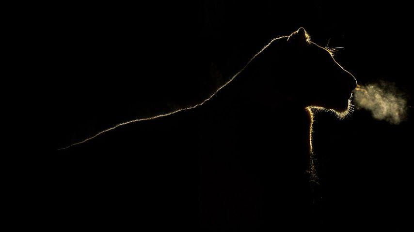「夜のメスライオン」南アフリカ, サビ鳥獣保護区