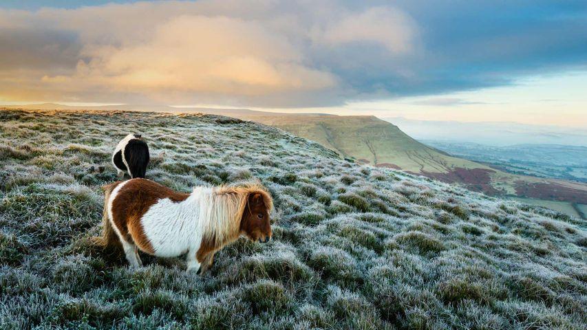 「野生のポニー」イギリス, ウェールズ