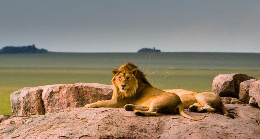 「セレンゲティ国立公園のライオン」タンザニア