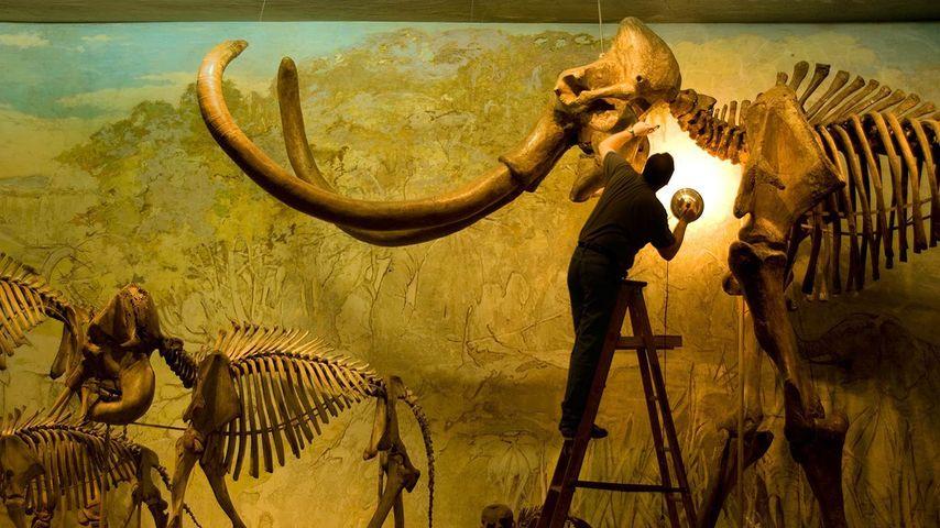「コロンビアマンモスの化石」アメリカ, ネブラスカ州