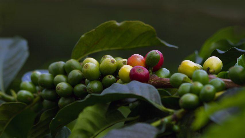 「コーヒーチェリー」コロンビア, キンディオ
