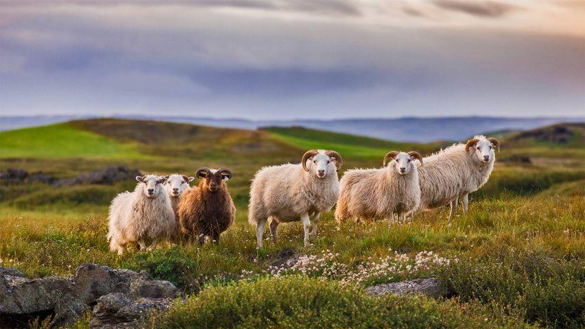 「アイスランディック・シープ」アイスランド