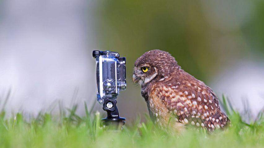 「カメラを見るアナホリフクロウ」米国フロリダ州, ケープコーラル