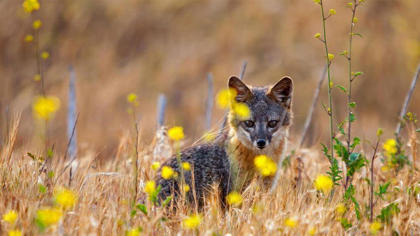 「シマハイイロギツネ」米国カリフォルニア, チャネル諸島国立公園