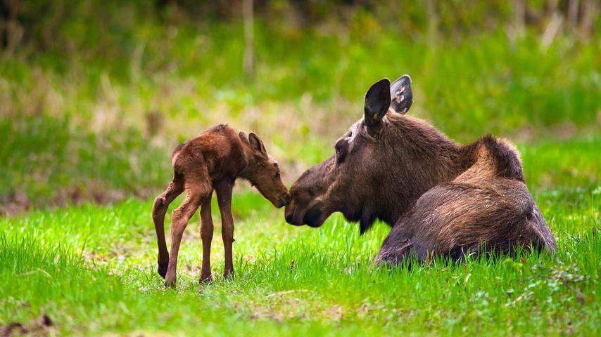 「ヘラジカの母子」アメリカ, アラスカ州