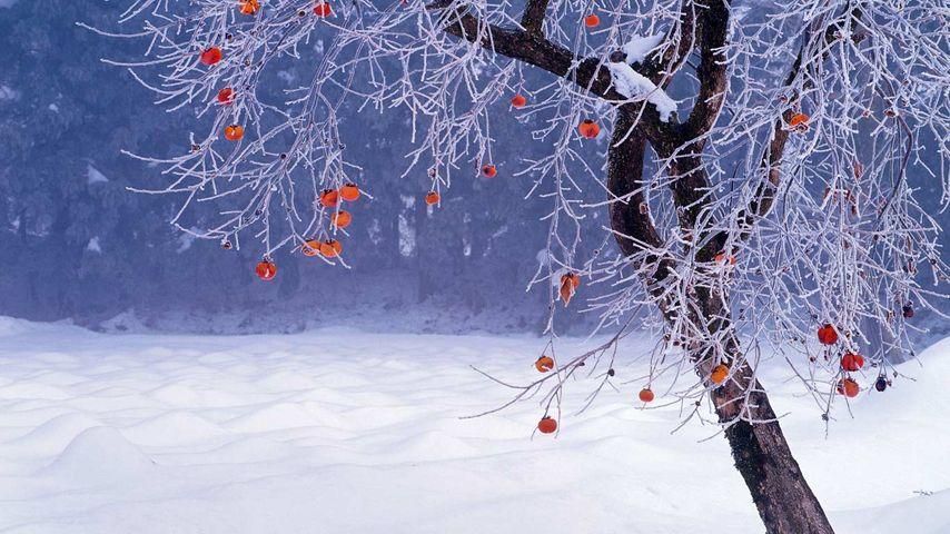 「柿の木」福島