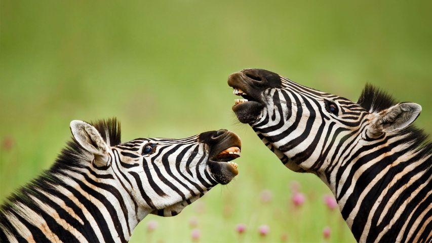 「バーチェルサバンナシマウマ」南アフリカ, リトブレイ自然保護区