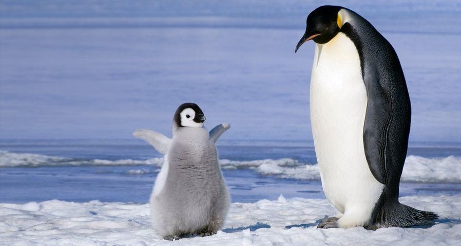「コウテイペンギンの親子」南極, スノーヒル島, ウェッデル海