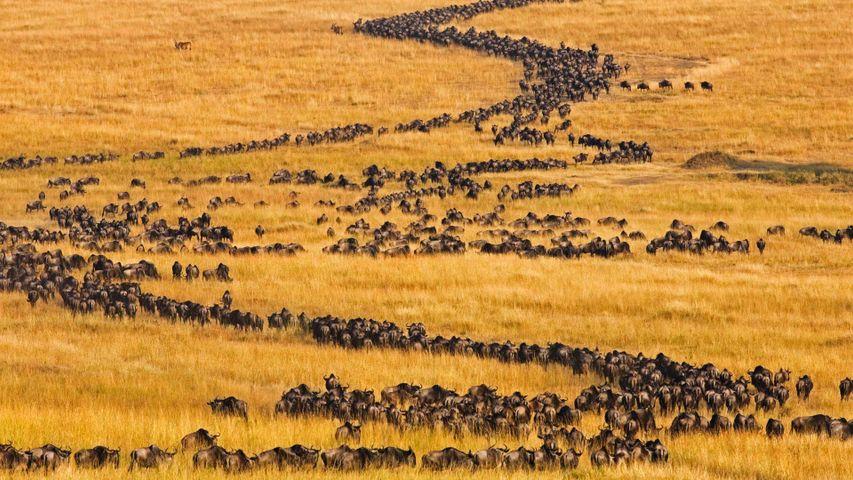 「ヌーのグレート・マイグレーション」ケニア, マサイマラ国立保護区