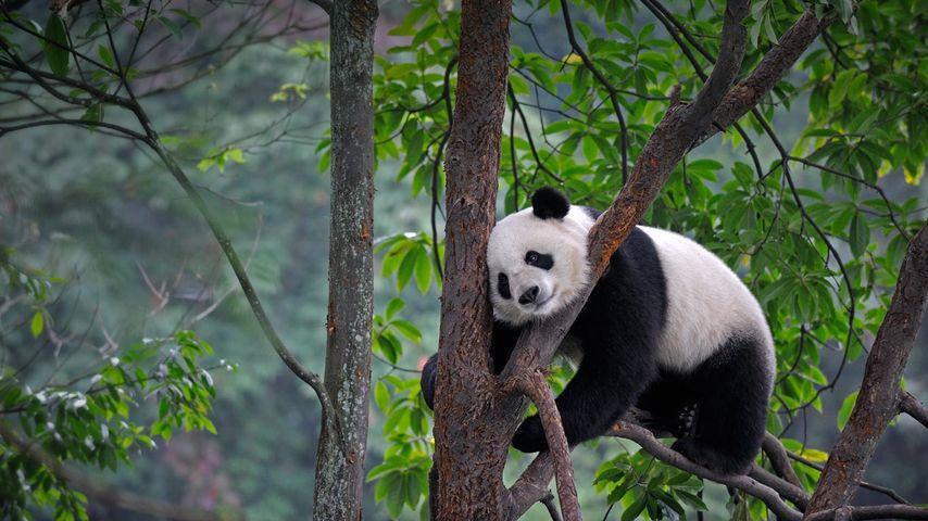 「樹上で寝るパンダ」中国, 四川省