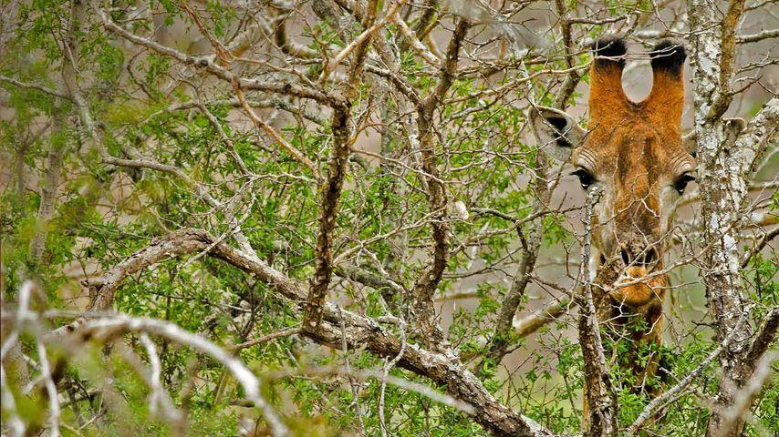 「木立の中のキリン」南アフリカ