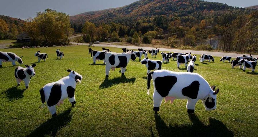 「ぬいぐるみの牛の放牧」アメリカ, バーモント州