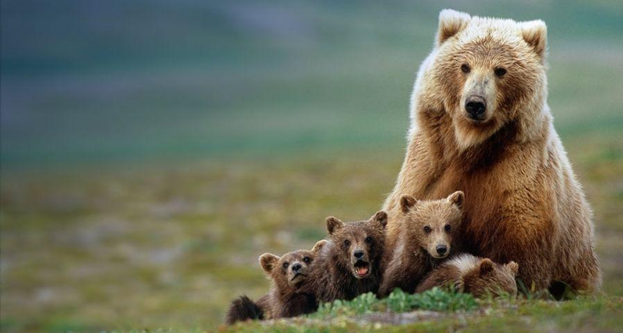 「ハイイログマの親子」アメリカ, アラスカ州, カトマイ国立公園