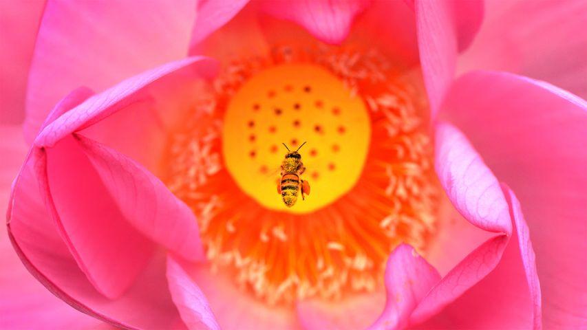 「ハスの花とミツバチ」米国, ワシントンD.C.