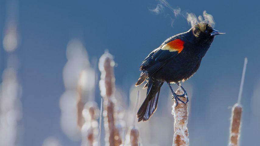 「冬のハゴロモガラス」アメリカ, ミネソタ州