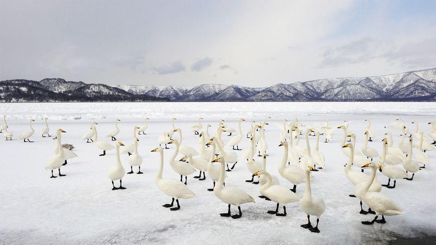 「オオハクチョウ」北海道