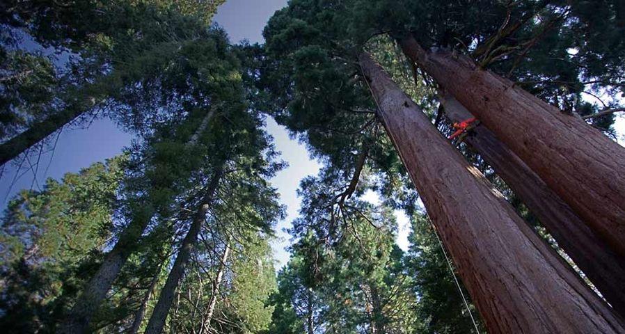 「セコイアの木」カリフォルニア