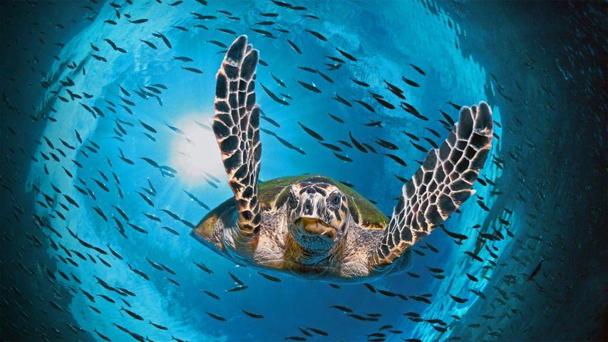 「アオウミガメ」オーストラリア, グレートバリアリーフ (© imageBROKER/Alamy)