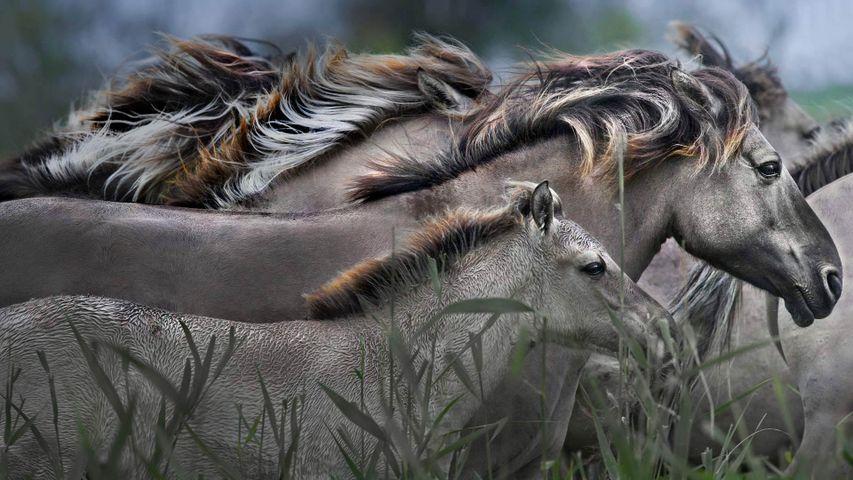 「コニック馬」オランダ,オーストファールテルスプラッセン自然保護区