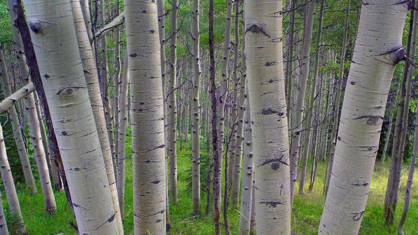 「ヤマナラシ」米国コロラド州, ガニソン国立森林