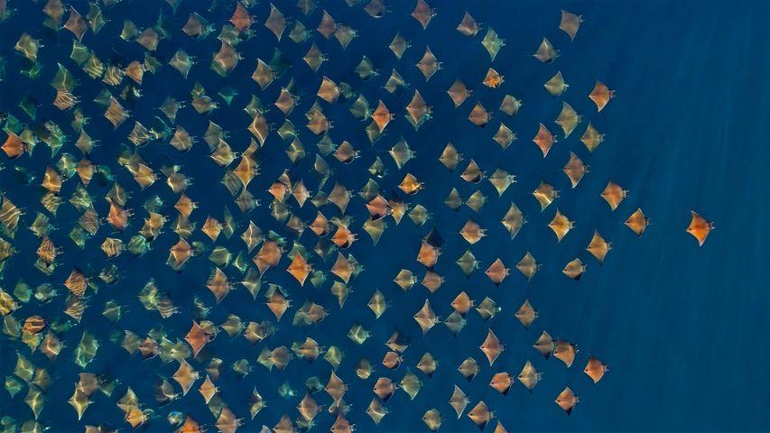 「ムンクイトマキエイの群れ」メキシコ, カリフォルニア湾