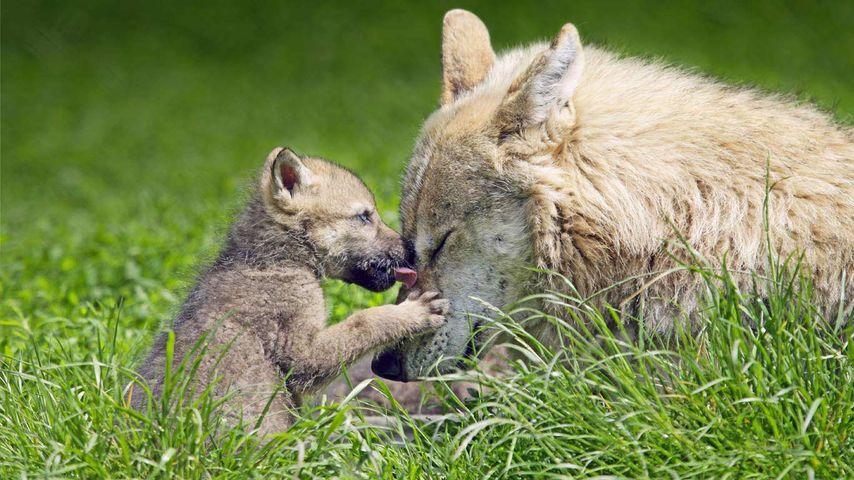 「オオカミの母子」