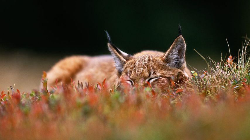 「ヨーロッパオオヤマネコ」チェコ, シュマヴァ国立公園