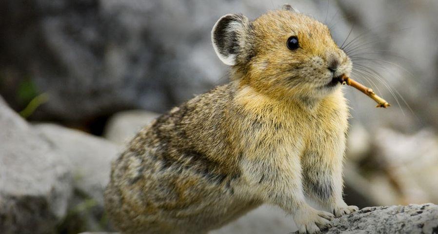 「アメリカナキウサギ」カナダ, アルバータ州, バンフ国立公園