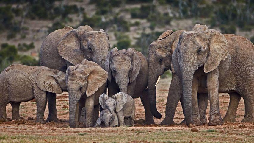 「アフリカゾウの群れ」
