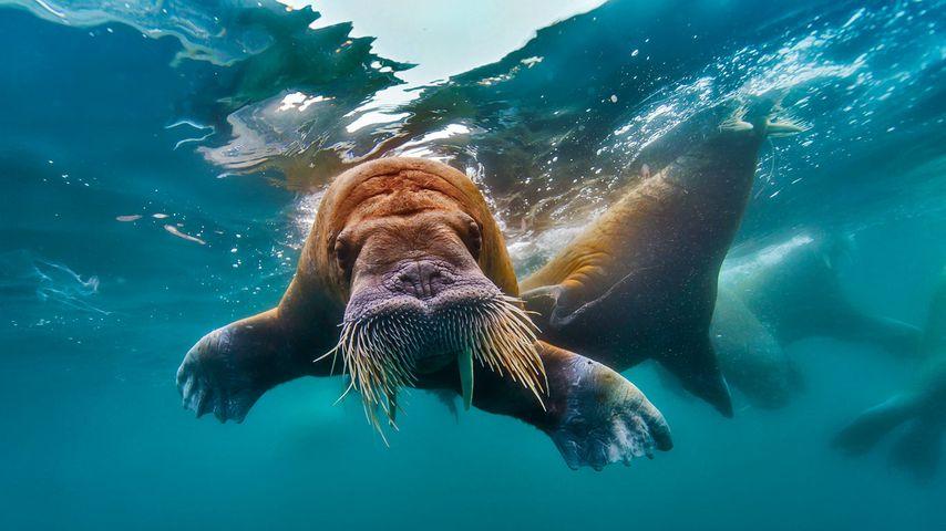 「泳ぐセイウチ」北極海