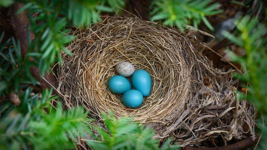 「コマドリの巣のコウウチョウの卵」米国, ニューヨーク州