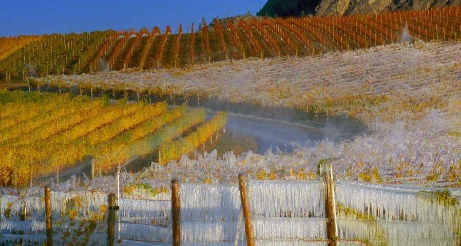 「アイスワイン畑」カナダ, ブリティッシュコロンビア州