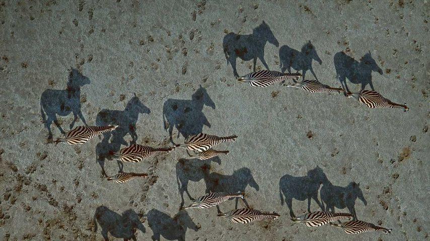 「シマウマの群れと影」ボツワナ, マカディカディパン国立公園