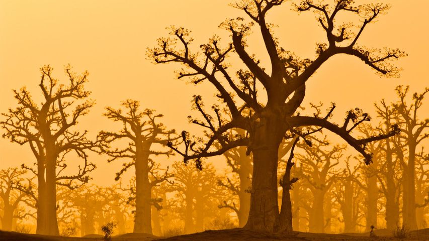 「バオバブの森」セネガル, バンディア自然保護区