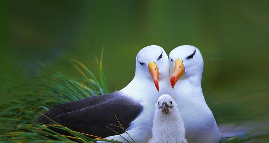 「マユグロアホウドリの家族」フォークランド諸島