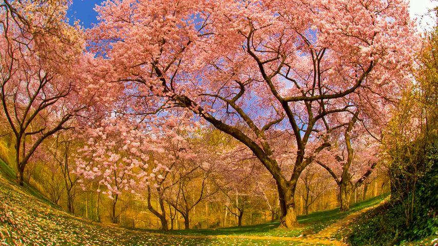 「ダンバートン・オークス邸の桜」アメリカ, ワシントンD.C.