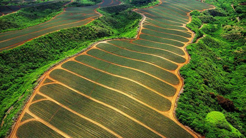 「マウイ島のパイナップル畑」アメリカ, ハワイ
