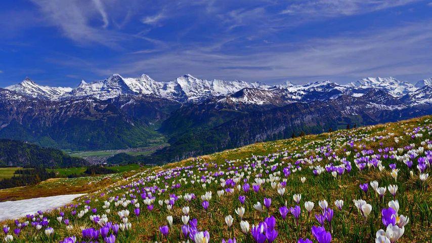 「早咲きのクロッカス」