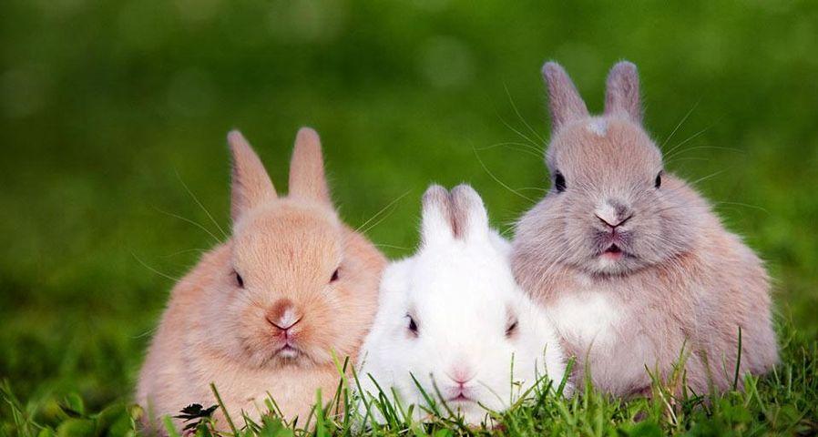 「ウサギのトリオ」