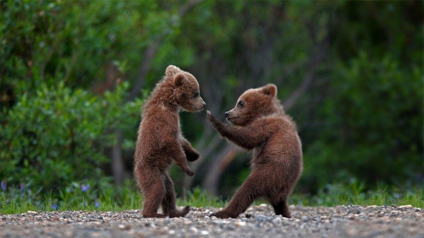 「グリズリーベアの兄弟」米国, アラスカ州