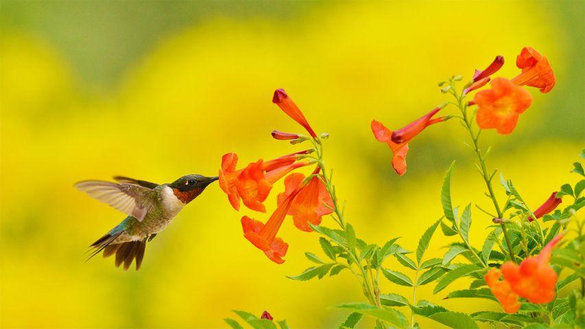 「ノドアカハチドリ」米国テキサス州, テキサス・ヒル・カントリー